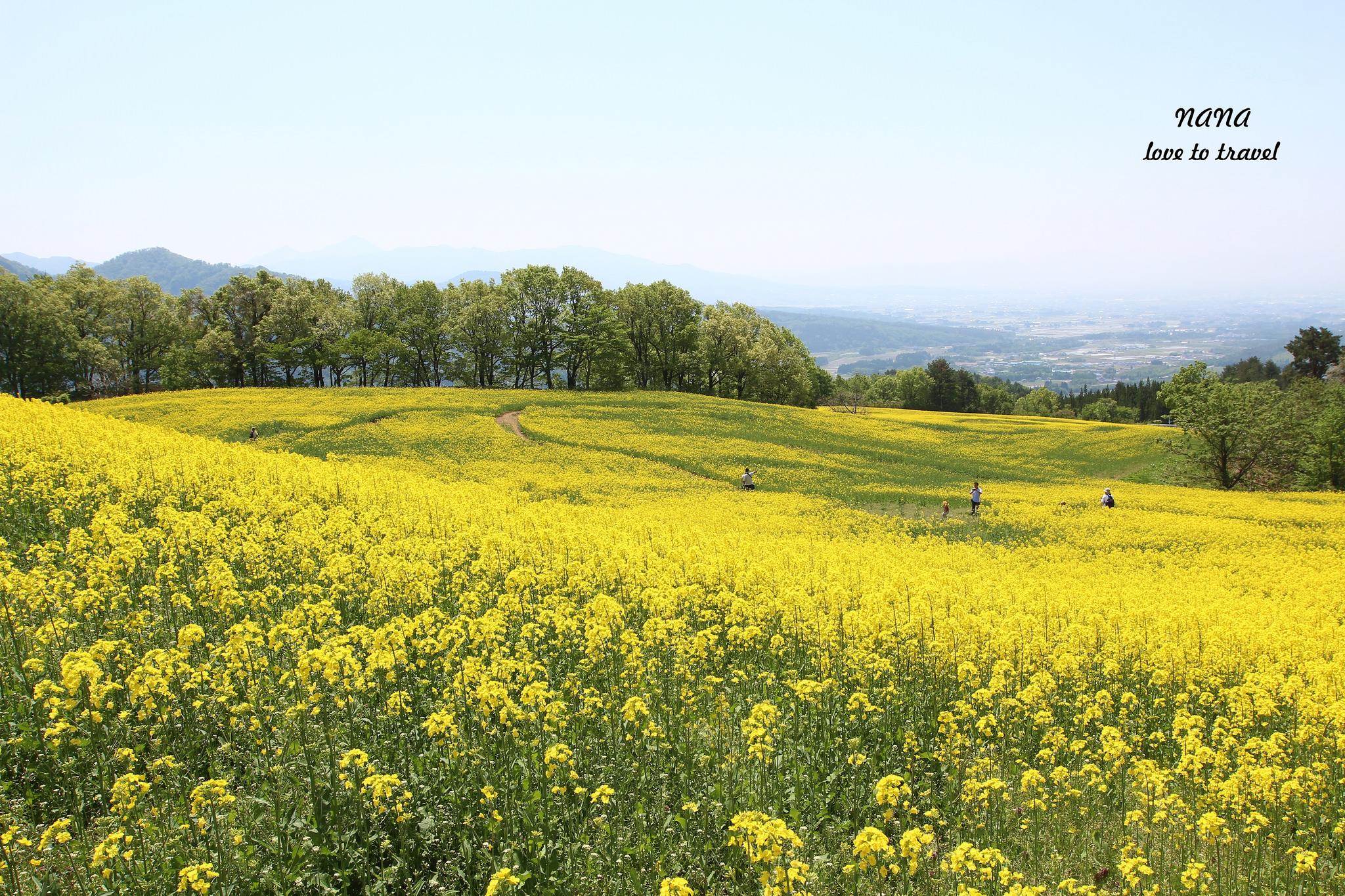 日本東北自由行》福島喜多方市 三ノ倉高原花畑。限定美景350萬株油菜花花海。