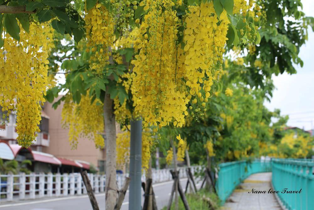 南投市景點》南投阿勃勒,福崗路一段阿勃勒盛開,季節限定浪漫黃金雨灑落滿地。