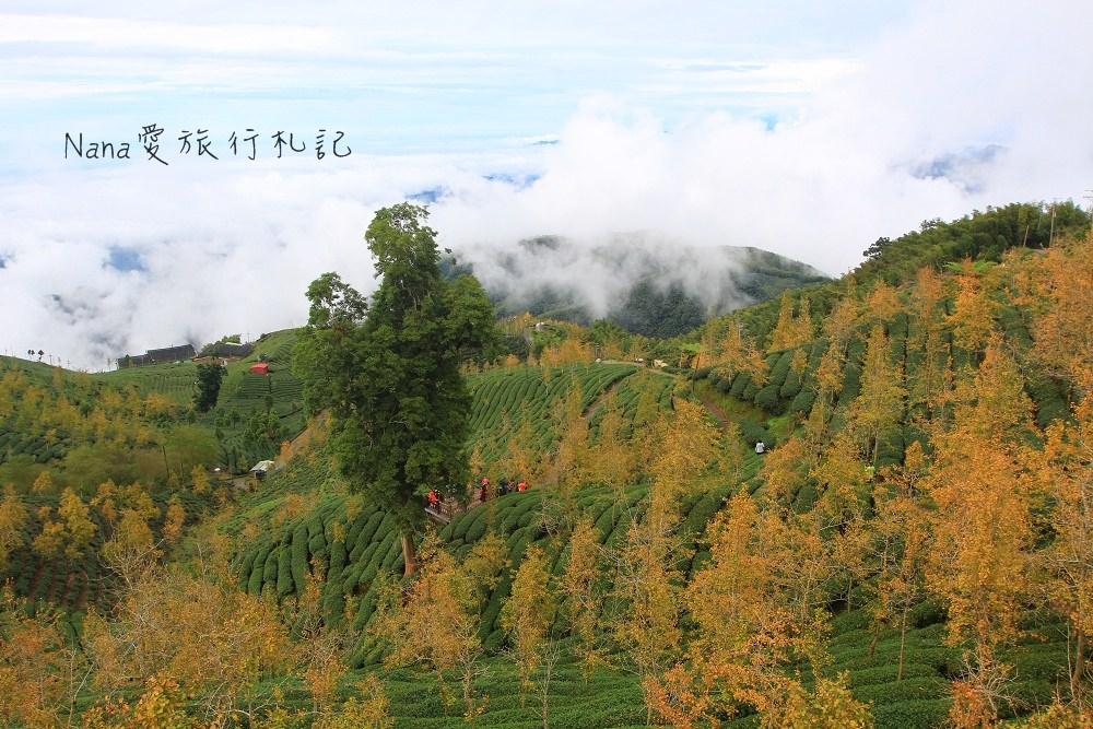 南投鹿谷》銀杏森林。台灣絕美銀杏林,山谷銀杏黃葉配上翠綠茶園,雲海奇景真是人間仙境