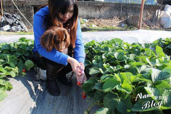9採草莓 (3).JPG