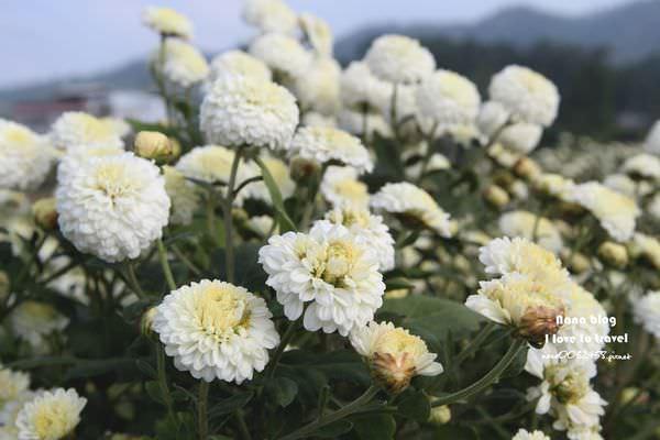 苗栗銅鑼杭菊 (4).JPG