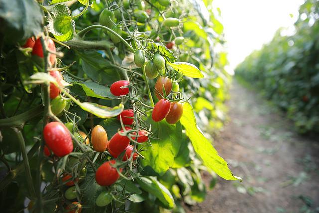 溪湖溫室樂園玉女番茄 (4)