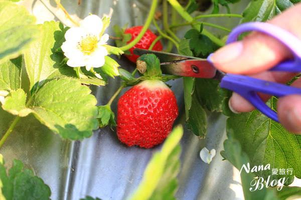9採草莓 (4).JPG