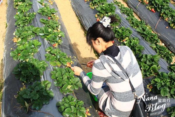 苗栗大湖草莓 (13).JPG