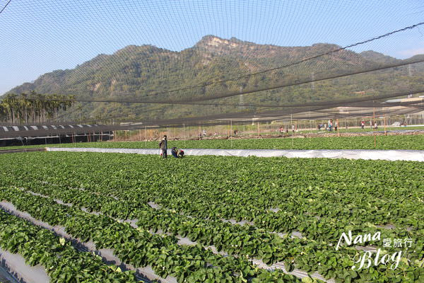 9採草莓 (2).JPG