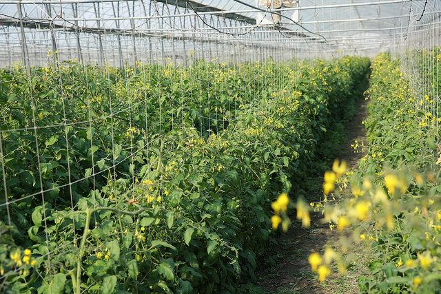 溪湖溫室樂園玉女番茄 (1)