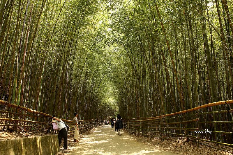苗栗泰安-烏嘎彥竹林隧道-台灣版嵐山 (6)