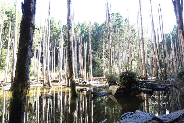 溪頭忘憂森林 (12)