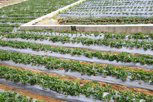 ┌寵物一起旅行┐冬季限定!草莓季開跑嚕❤來去草莓王國苗栗大湖採草莓
